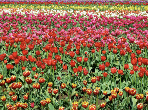 events for kids in Oregon, Oregon kids activities, Oregon Tulip Festival