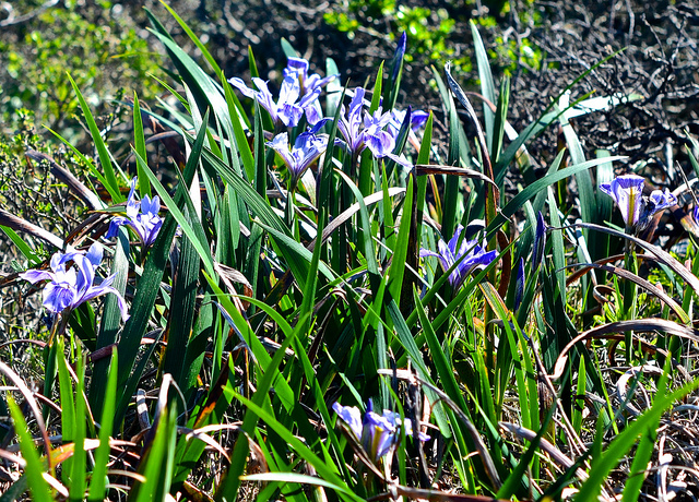 wild blue iris california san bruno mountains via flickr D&S McSpadden