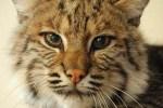 Bobcat Day at CuriOdyssey