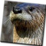River Otter Feeding at CuriOdyssey