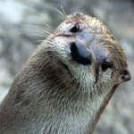 Celebrate River Otter Day at CuriOdyssey