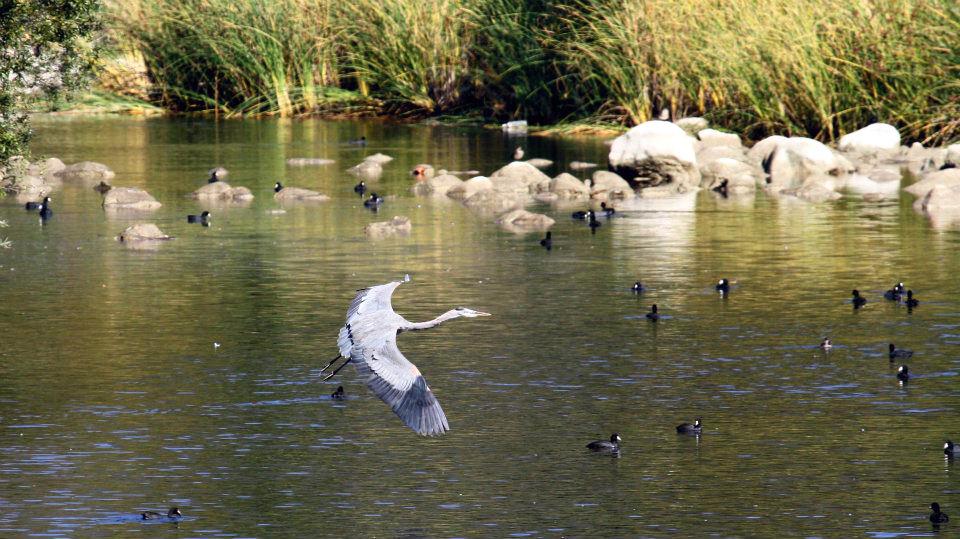 Great blue heron river louis rishoff