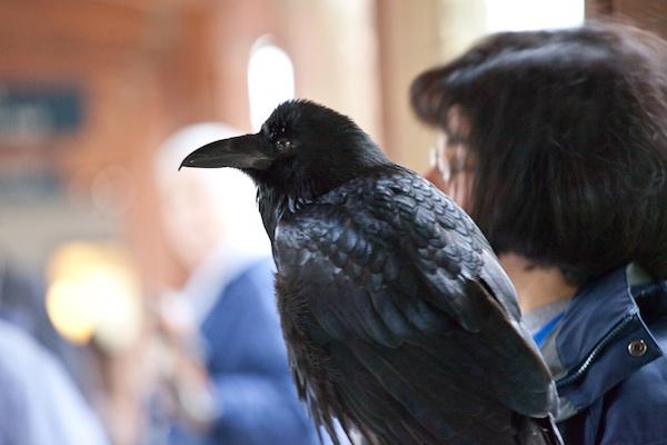 Aristophanes the Common Raven - Tom Schmid