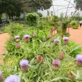 Artichokes in bloom have radiant purple flowers