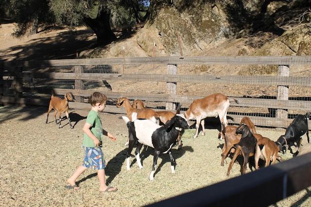 herding-goats