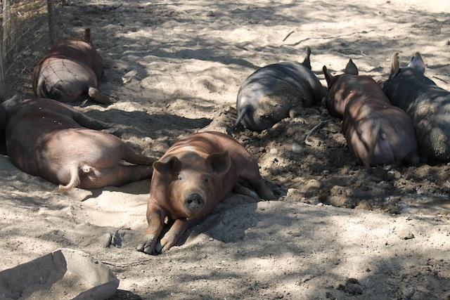 pigs-in-zen