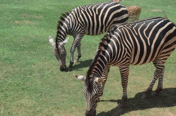 YRGR_Zebra