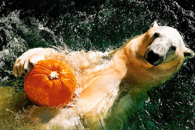 polar pumpkin
