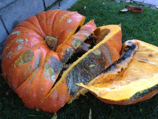 compost-bin-rotting-pumpkins-11