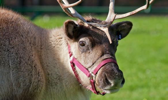reindeer_romp_sf_zoo