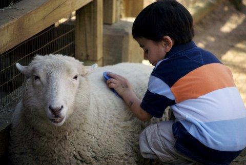 Kid_petting_sheep,_Zoo_Atlanta
