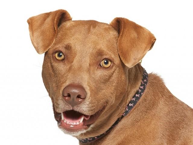 NKLA Adoptable Dog Becca