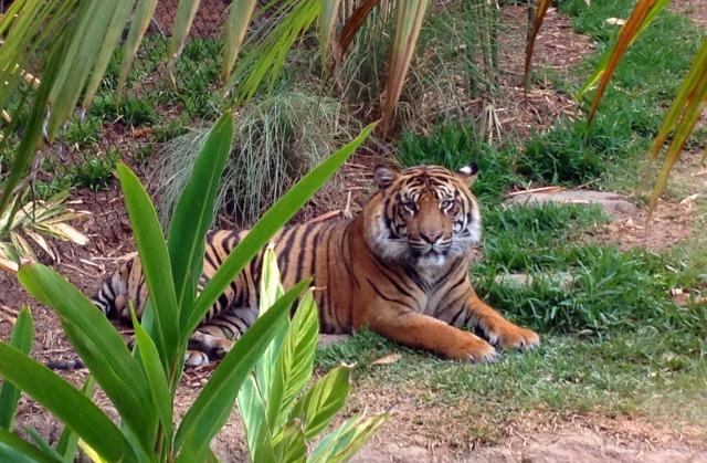 Tiger Trail 2