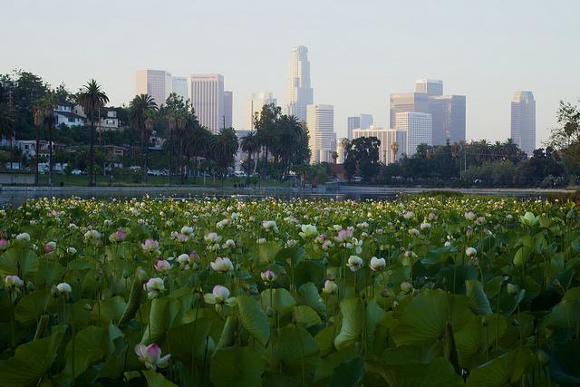 echo lotus