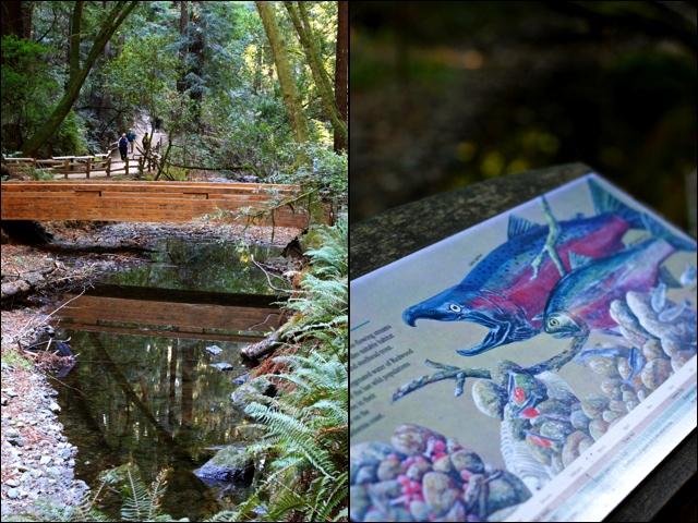Salmon Muir Woods