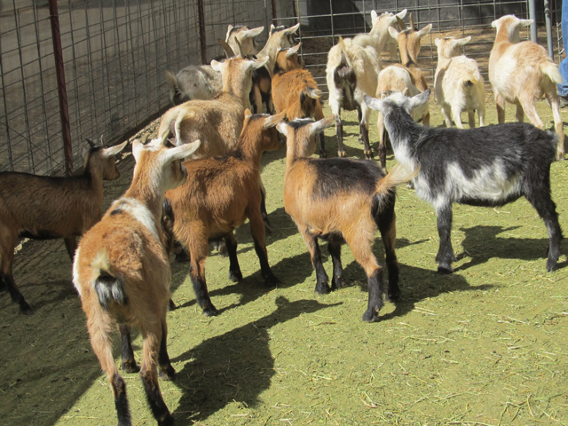 Lombardi-Ranch-Baby-Goats
