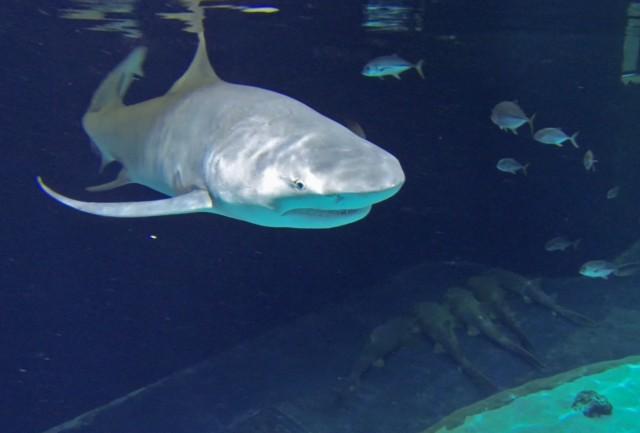 lemon-shark-nurse-sharks