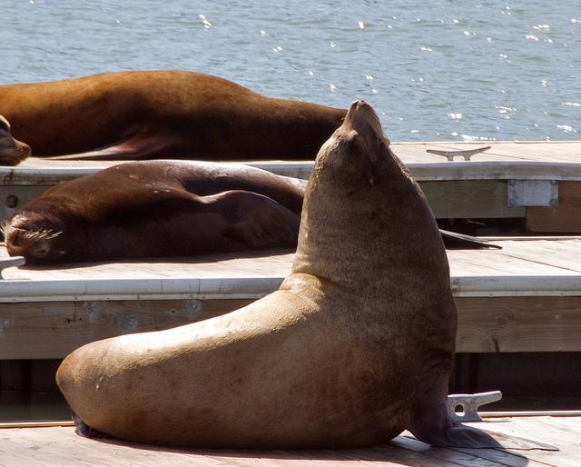 sea lions at pier 39_via Tony Fischer via Flickr
