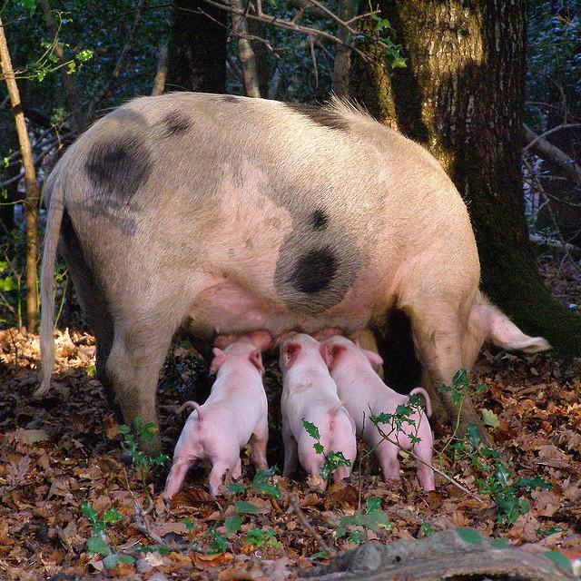 pigs-piglet