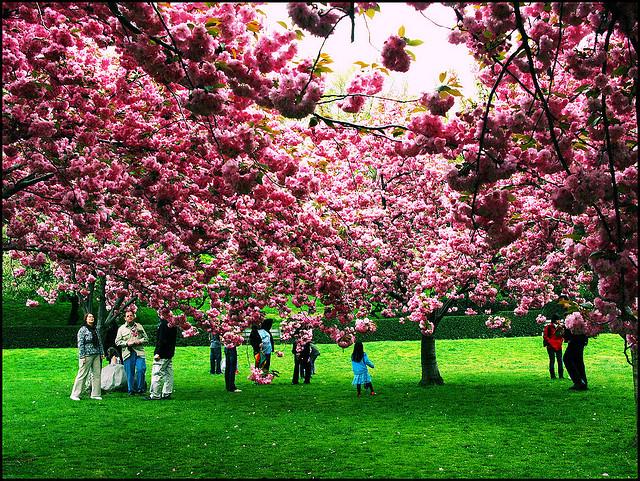 RT-cherry blossoms