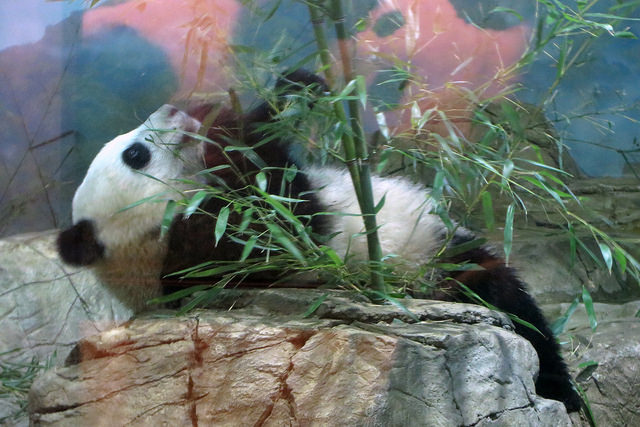 bao-bao-national-zoo-panda