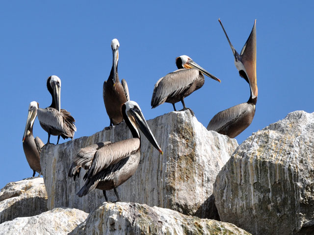 Pelicans Redondo Beach Pier