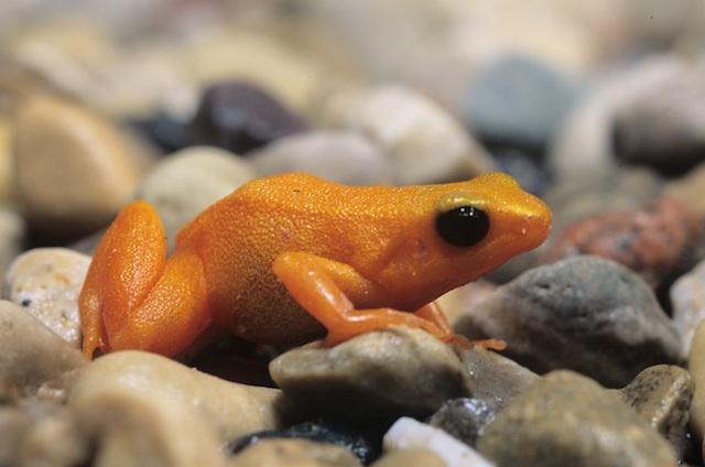 Golden Mantella Frog