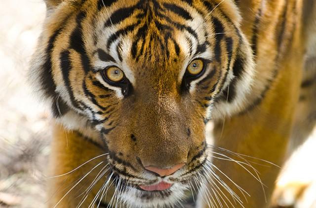 tiger woodland park zoo