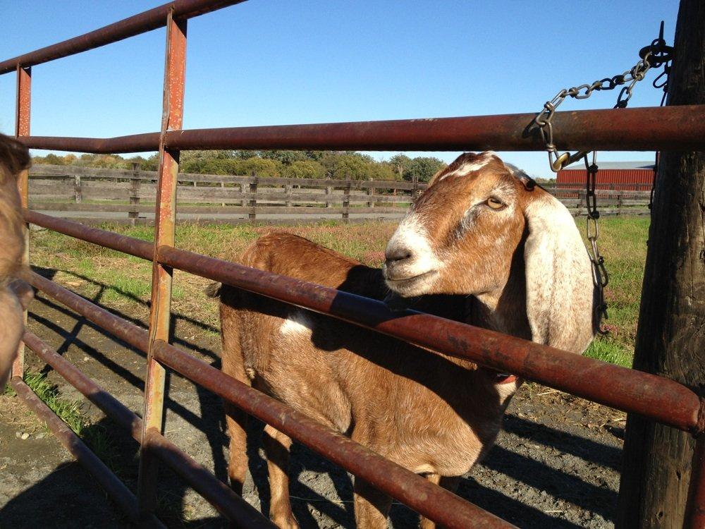 frying-pan-farm-goat
