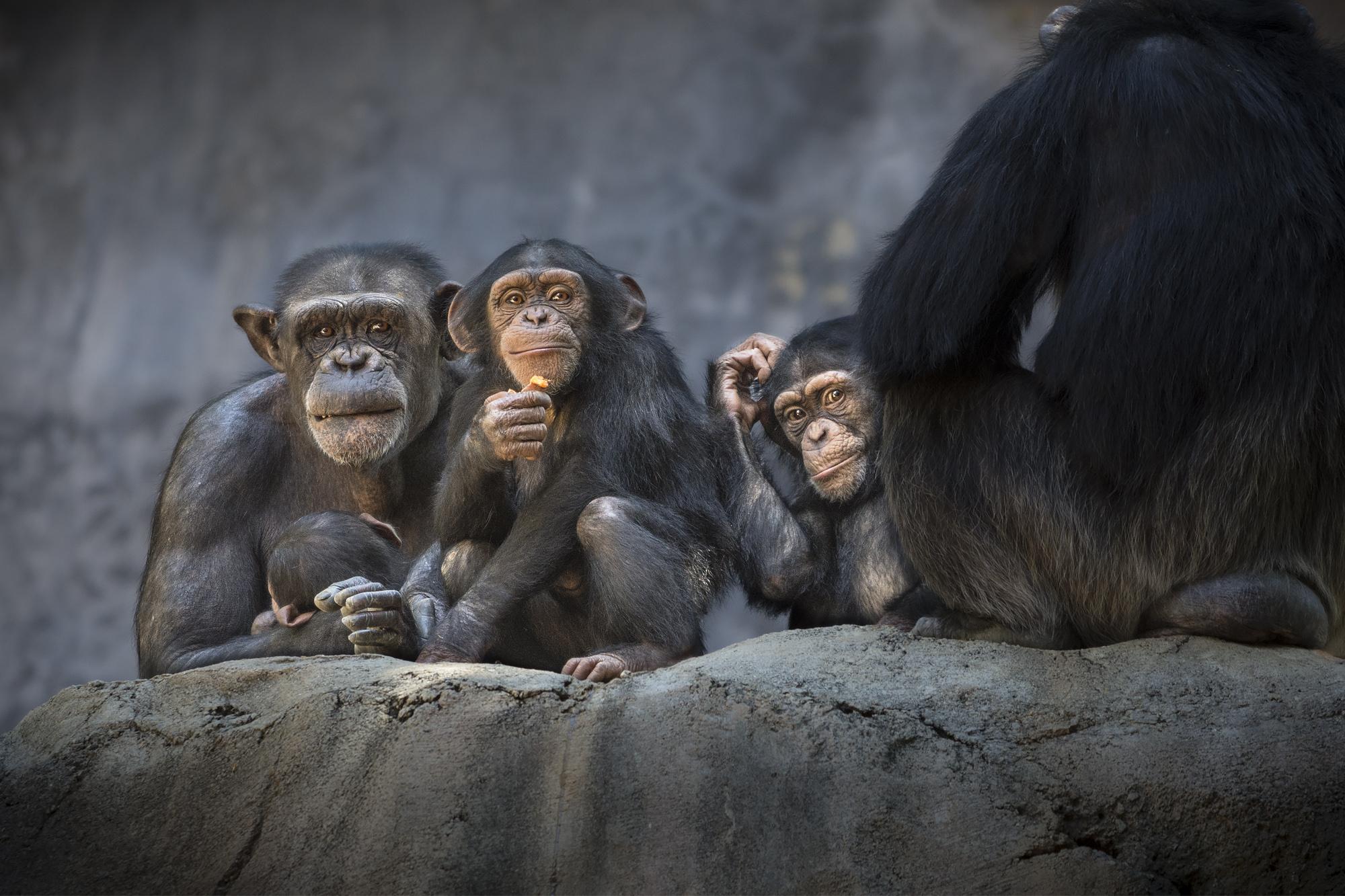 Chimp Group JEP_6992