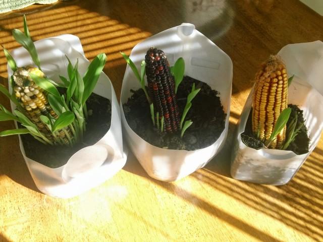 Corn experiment