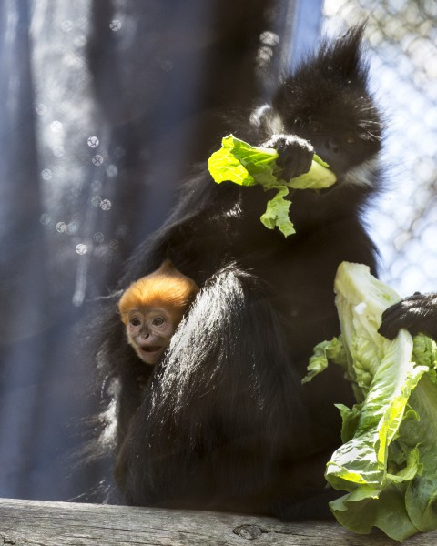 francois langur baby sf zoo