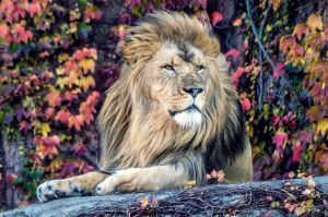 Lincoln Park Zoo Lion in Fall