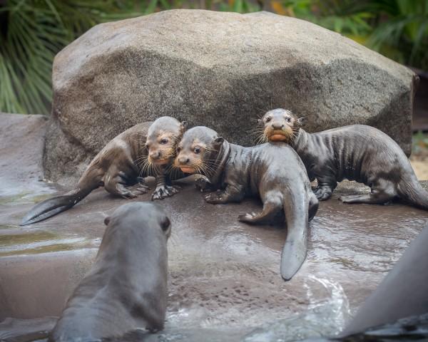 LA Zoo Otter Babies JEP_3046