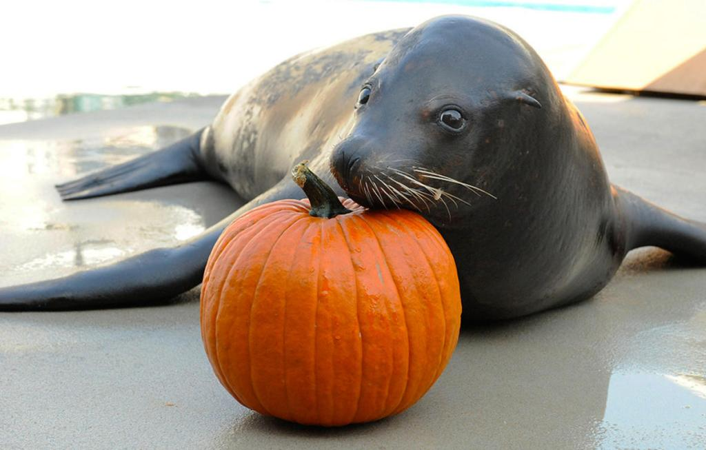 5nl43uqfdf_Julie_Larsen_Maher_8142_California_Sea_Lion_with_pumpkin_AQ_10_01_08
