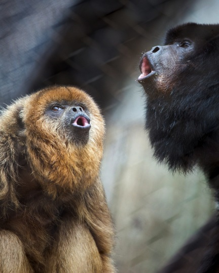 howler monkeys sf zoo