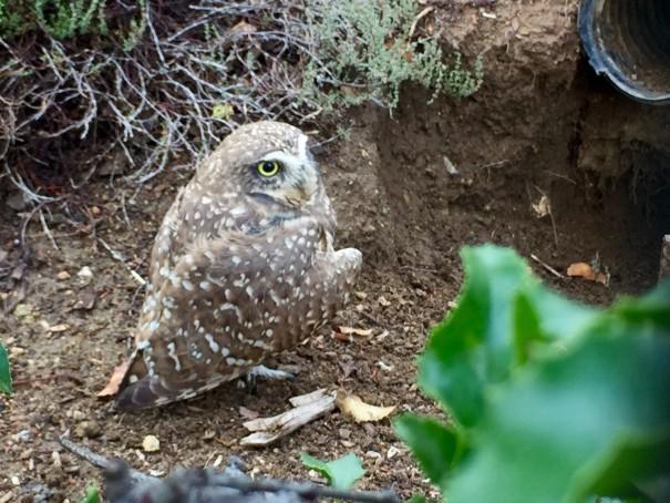 Living Coast Discovery Center Owl