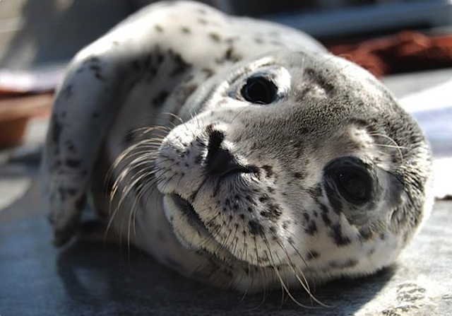 A rescued seal pup at the Marine Mammal Care Center in San Pedro, CA