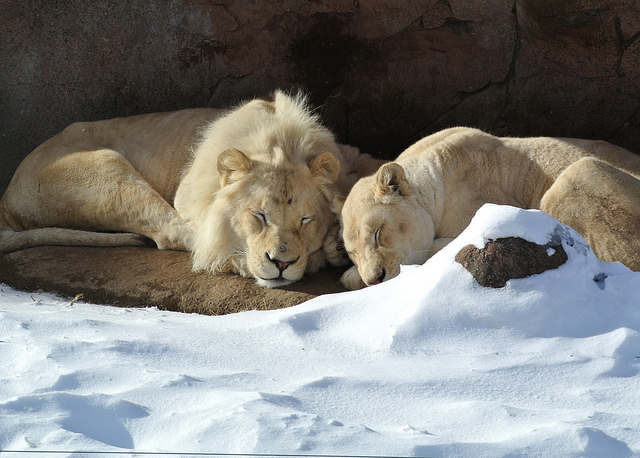 Richard BH Flickr CC lions in snow