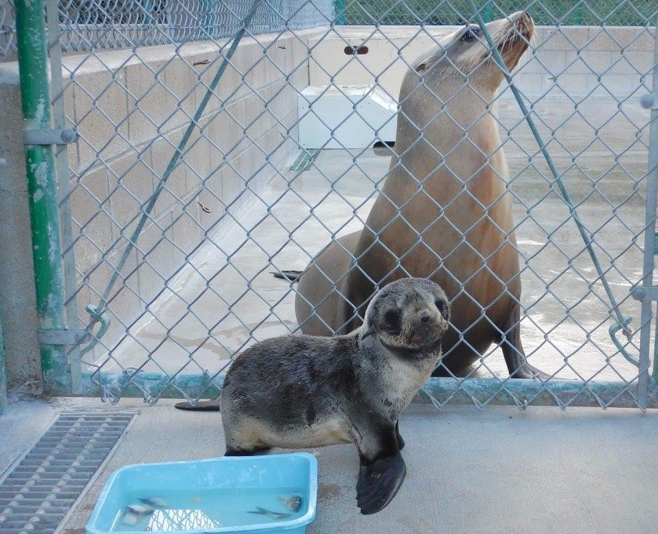 Seals and other marine mammals are nurtured back to health at the San Pedro Marine Mammal Care Center