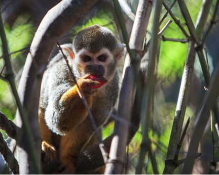 squirrel monkey sf zoo