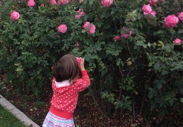 Valentines Garden Roses