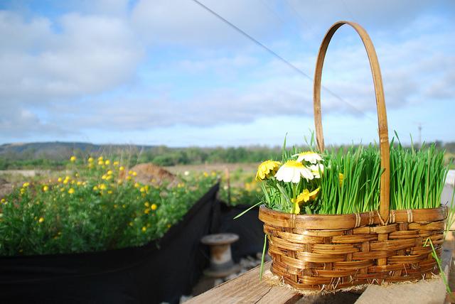 wheatgrass green easter basket