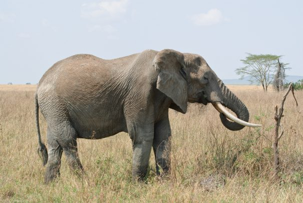 elephant -cc- oliver.dodd via flickr