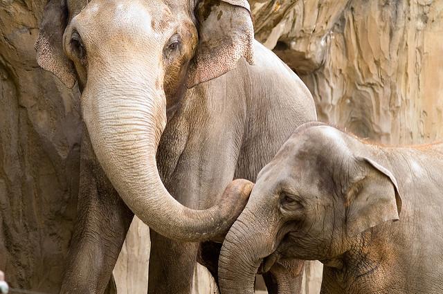 Oregon Zoo elephants