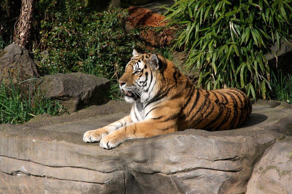 Tiger-Oregon Zoo-brx0-flickr