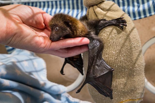 bat-pup-san-diego-zoo