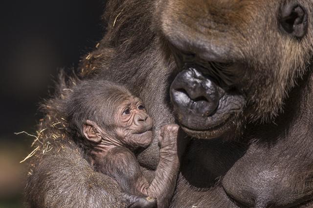 gorilla-san-diego-zoo-safari-park