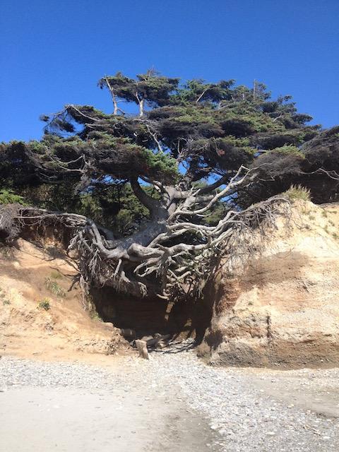 hanging-tree-kalaloch-allison-sutcliffe