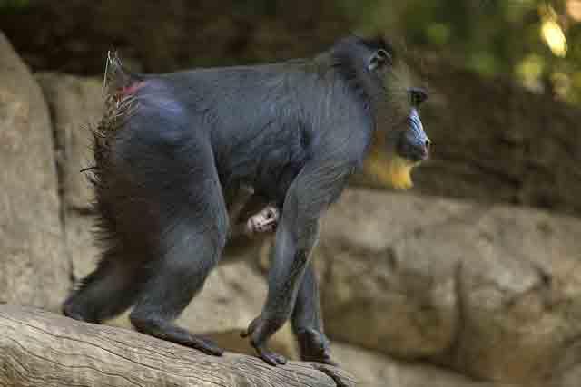 mandrill-baby-san-diego-zoo